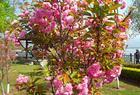 携亲带友去看邛海宾馆里看樱花,顺便再拍几张樱花照片!